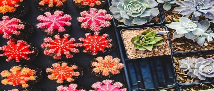 piante-grasse-piu-belle