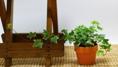 edera-inglese-pianta-da-appartamento