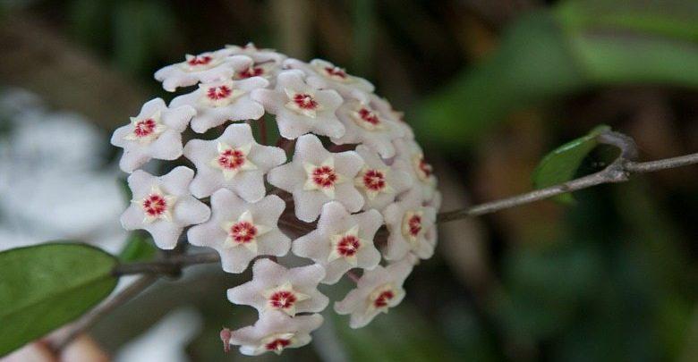 fiore-di-cera-pianta-da-appartamento
