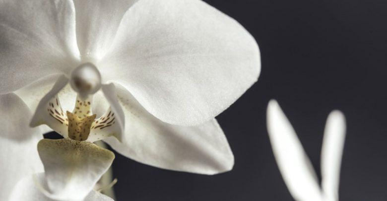 Orchidea Bianca Come Curarla?